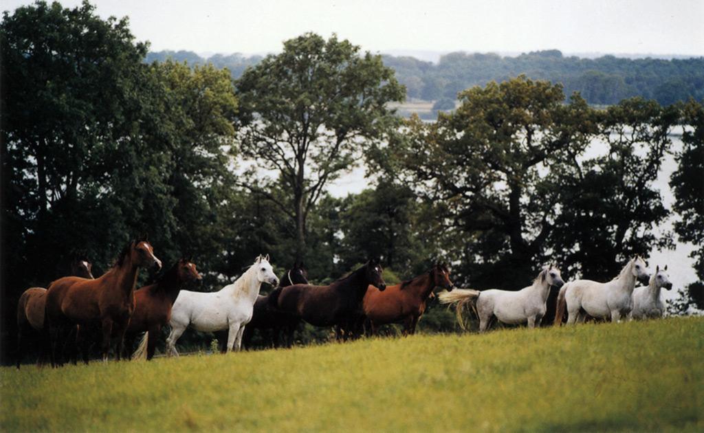 En flock arabhästar på Lillö
